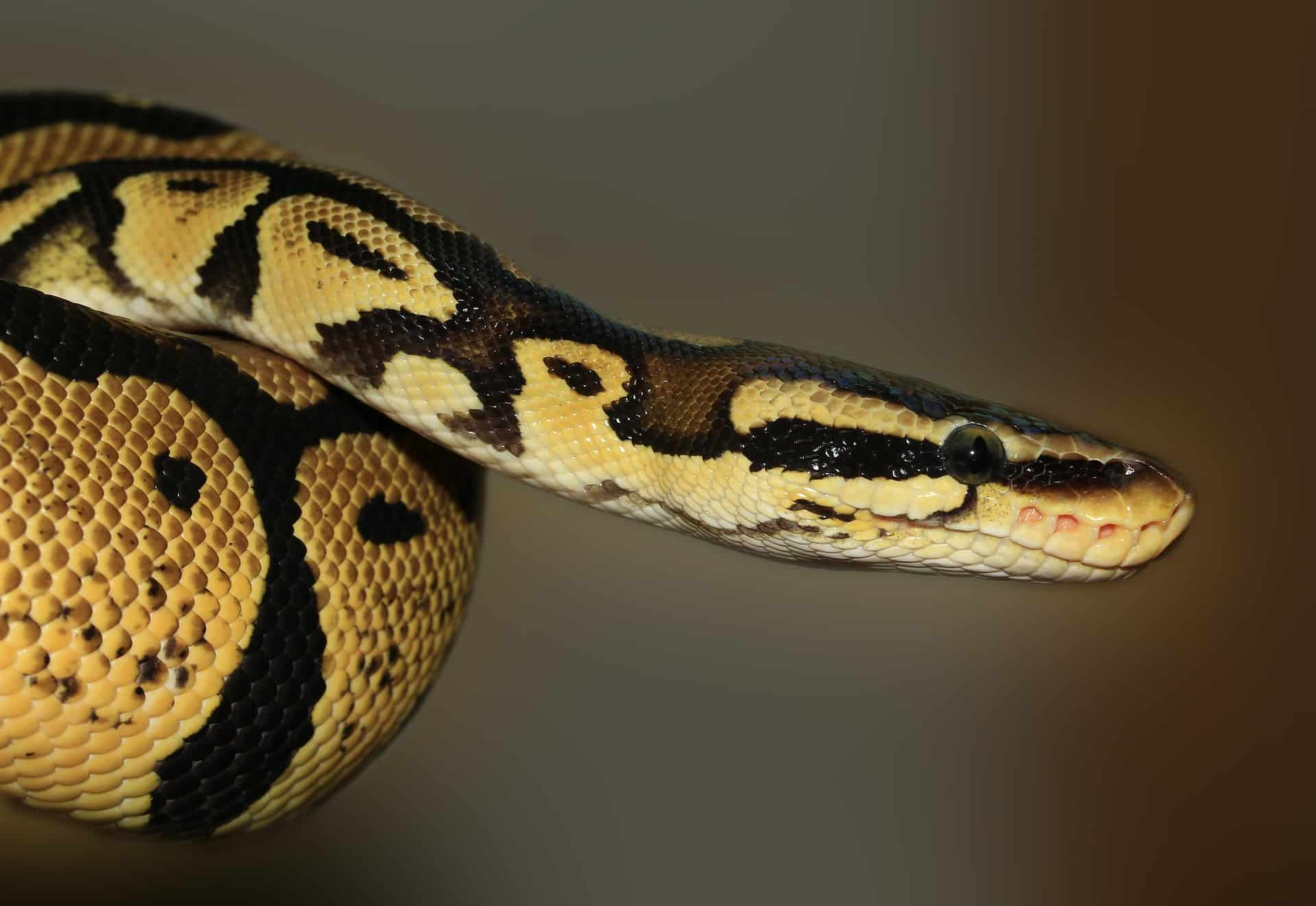 photo python royal